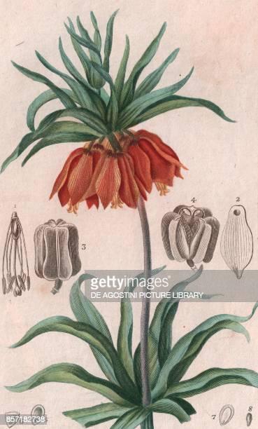 Crown imperial colour copper engraving retouched in watercolour 9x15 cm from Dizionario delle scienze naturali compilato da vari professori del...
