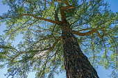 Crown of a Siberian larch on a background of blue sky. Altai Mountains, Russia. Sunny summer day.