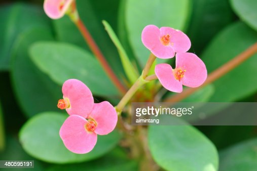 Crown of Thorns Flowers : Stock Photo