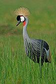 Crowned crane,