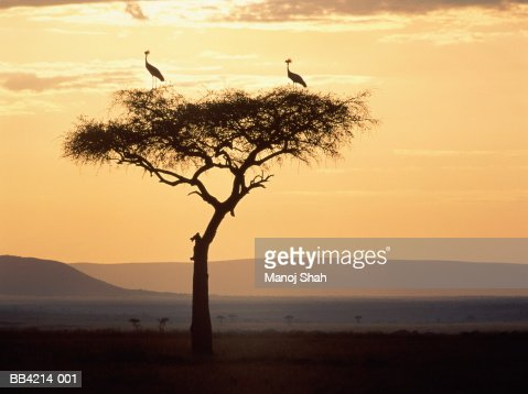 Crowned cranes perched on acacia tree at sunrise, Kenya : ストックフォト