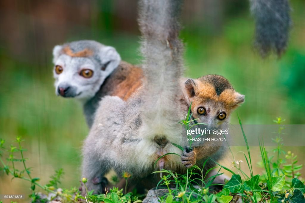 A crowned lemur named Electra shows her buttocks while carrying her pup on her back, at the Besancon zoo on June 3, 2017. A crowned lemur pup, an endangered specie of primate, was born in April at the Museum de la Citadelle in Besancon and made its first appearance on June 3, 2017. /