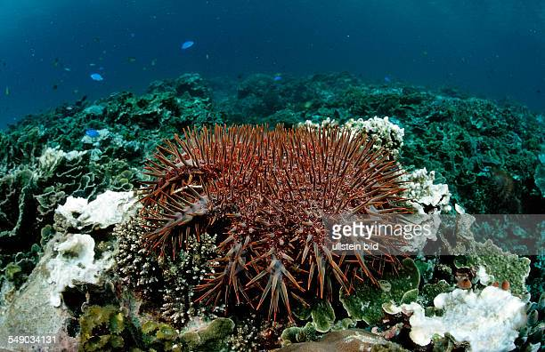 Crownofthorns Starfish feeding on coral Acanthaster planci Komodo National Park Indian Ocean Indonesia