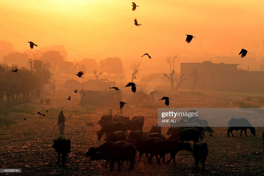 Crows fly past buffaloes at sunrise on the outskirts of Lahore on November 28, 2013.