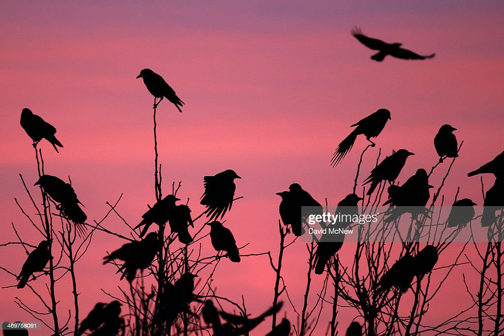 Crows gather in large nightly communal roosts after spending the day feeding in surrounding farms on February 13, 2014 in Delano, California. Residents who dislike the sounds and droppings of the many thousands of migrating and local crows have tried multiple unsuccessful tactics to chase them away during winter months when their numbers swell, including the use of strobe lights and sheet metal by the city, blanks shot by local police and a Starbucks store located in the roosting area playing special music to try to keep them away. Despite a third straight year of unprecedented drought, the crows continue to overrun the town nightly. Winter communal crow roosts have continued to rise in towns and cities since the 1960s when the birds first began abandoning traditionally rural roosts.