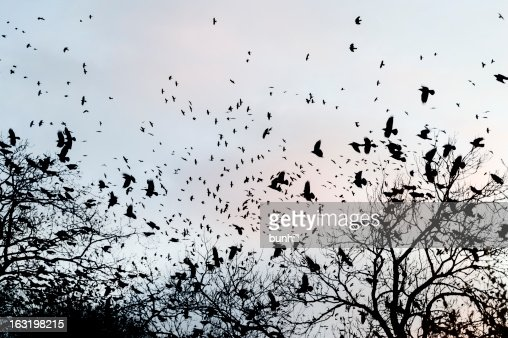 crows gathering at dusk in bare winter twilight trees