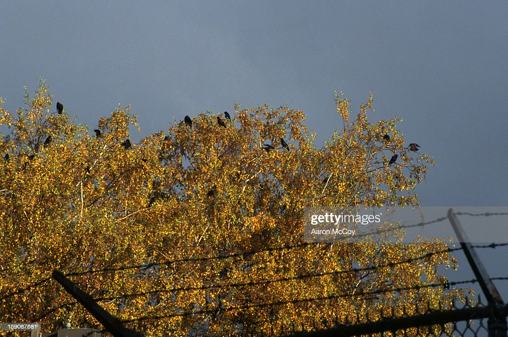 Crows in fall. : Stock Photo