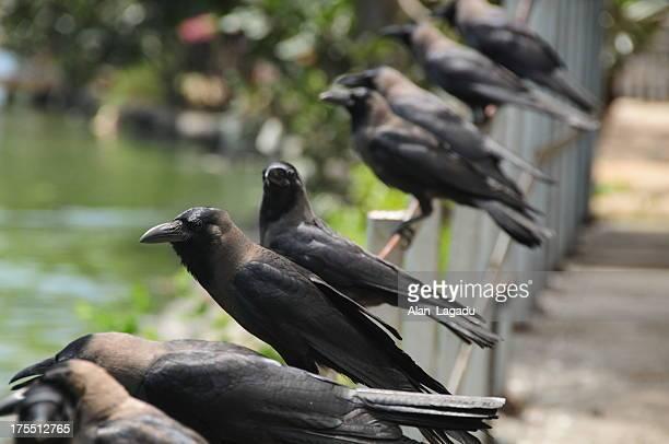 Crows on Beira lake,Colombo,Sri Lanka.