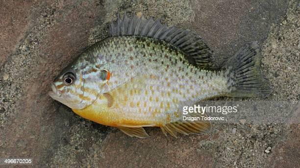Crucian carp goldfish