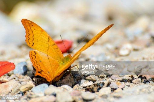 Mariposa cruzera con naranja lactancia en la planta baja : Foto de stock