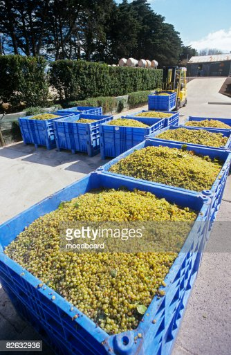 Crushing grapes in winery : Stock Photo