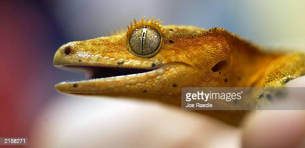 JULY 13 A crusted gecko lizard named 'Rusty' is seen at the Miami Museum of Science July 13 2003 in Miami Florida The Museum hosted a 'bring your...