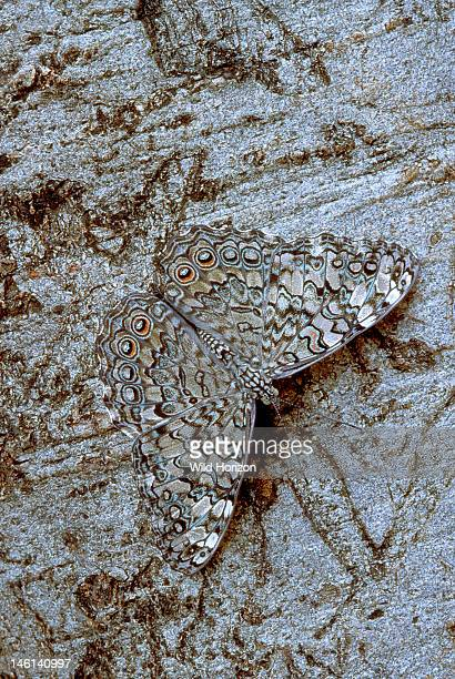 Cryptic glaucous cracker butterfly resting on a tree trunk in a subtropical dry forest Hamadryas glauconome Near Jaragua National Park Oviedo...