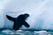 An Antarctic Fur Seal clambers out of the ocean onto an iceberg.