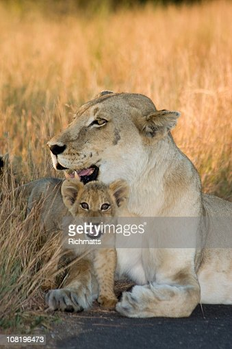 Cub and Mom Lioness : Stockfoto