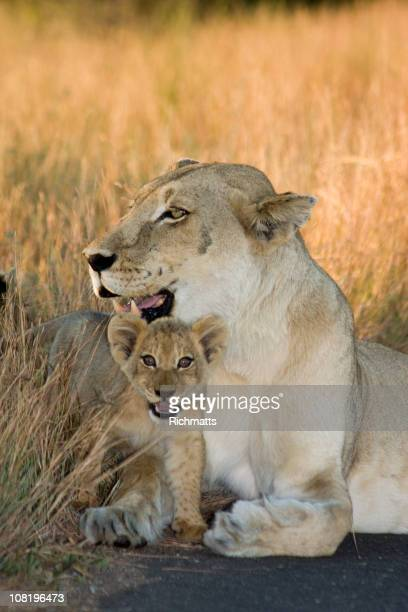 Cub and Mom Lioness