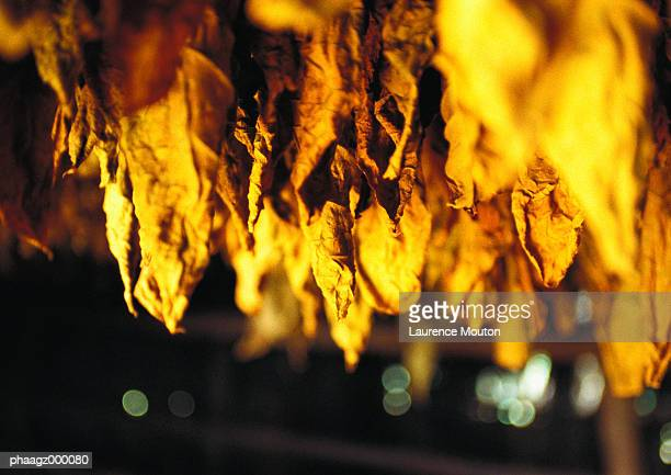 Cuba, Havana, tobacco leaves hanging to dry