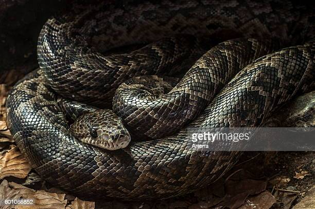Cuban boa resting curled up native to Cuba and the Bahamas