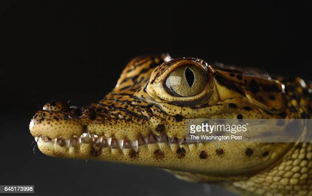 Cuban crocodile is photographed at the Smithsonian National Zoological Park on Thursday November 19 2015 in Washington DC This series features...