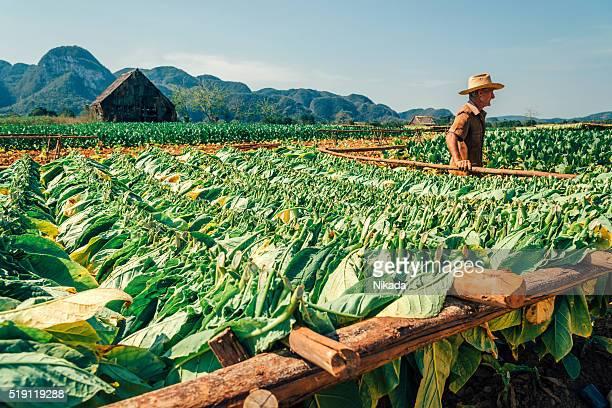 Cubano agricoltore in una piantagione di tabacco