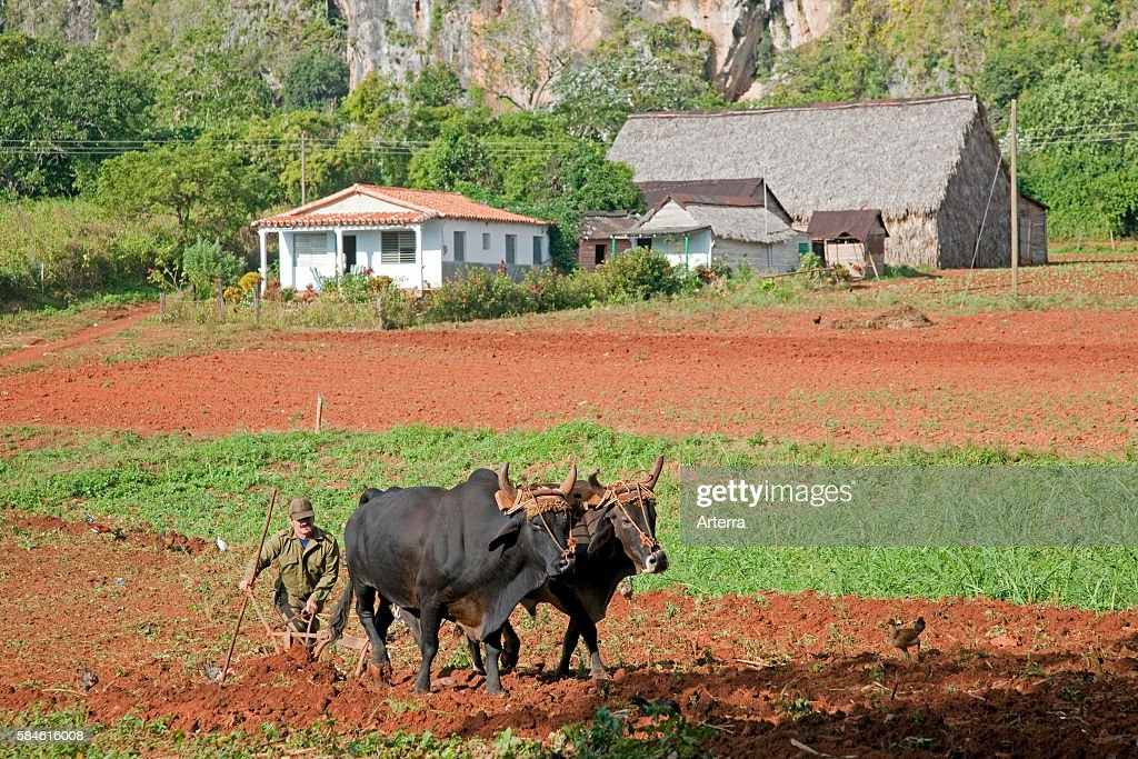 Cuban farmer ploughing field with traditional plough pulled by oxen on tobacco plantation in the Vinales Valley / Valle de Vinales Sierra de los...