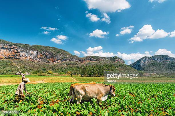 Cuban agriculteur ploughing le champ