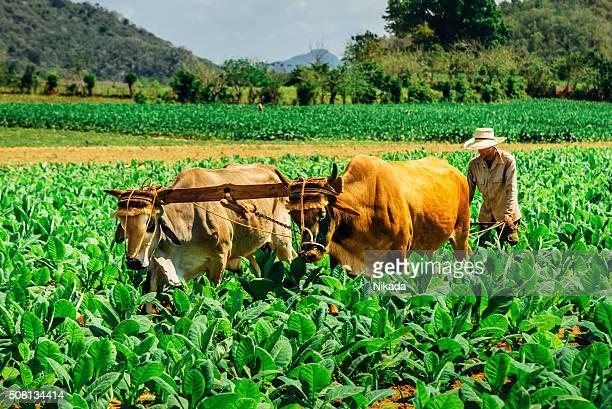 Cubain agriculteur labourage le terrain, la vallée de Viñales