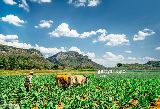 Cuban farmer ploughing the field, Viñales Valley