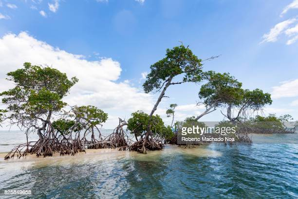 Cuban hidden beauty Small green mangrove trees with stilt roots on a narrow strip of land in middle of blue sea on a sunny day