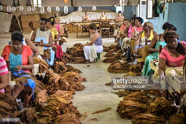Cuban workers select tobacco leaves on February 25 2014 in a production house on February 25 2014 in the San Juan y Martinez municipality Pinar del...