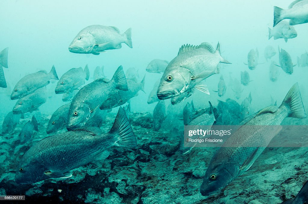 Cubera snappers gather at fresh water spout in lagoon at Sian Kaan natural reserve, Quintana Roo, Mexico