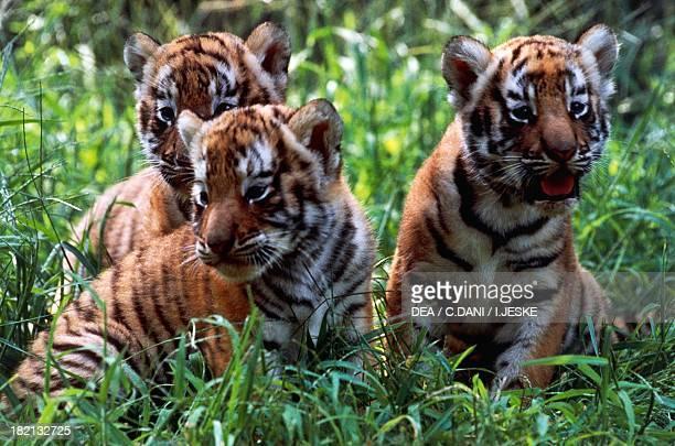 Cubs of Sumatran tiger