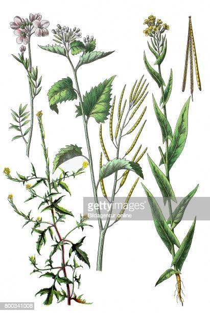 Cuckooflower or lady's smock Cardamine pratensis Garlic Mustard Alliaria petiolata Cavara Grande Syn Alliaria officinalis Andrz ex M Bieb hedge...