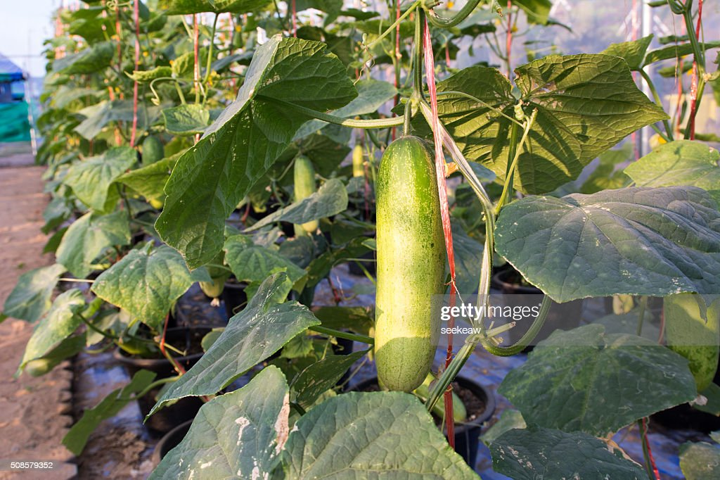 Cucumber growing in garden : Stock Photo