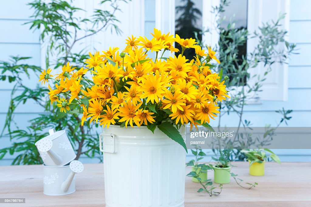 Cucumber leaf Sunflowers (Helianthus cucumerifolius) and small watering cans on table