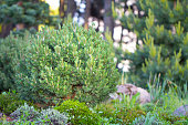 Cultivar dwarf mountain pine Pinus mugo var. pumilio in the rocky garden close up