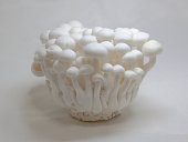 Cultivated white mushroom