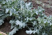 Green yellow vegetables / Broccoli cultivation