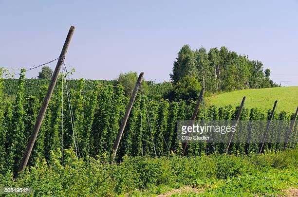 Cultivation of Hops -Humulus lupulus- in the Hallertau area, Mainburg, Bavaria, Germany, Europe