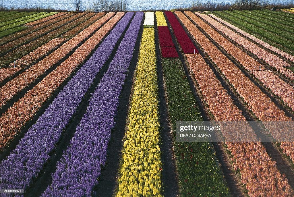 Cultivation of tulips and other bulbous plants near Lisse, South Holland, Netherlands.