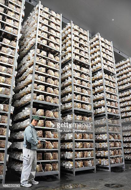 Cultivation shelves are arranged at the Shiitake mushroom factory Sanesu Farm on April 9 2014 in Minamishimabara Nagasaki Japan The mushroom factory...