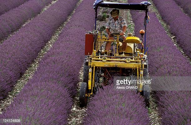 Culture of lavender in Provence France in July 1993 Lavandin cutting