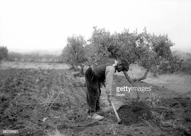 Culture of the olive trees Earthing up the feet against the cold approaching the winter Provence 1929 BOY 19114