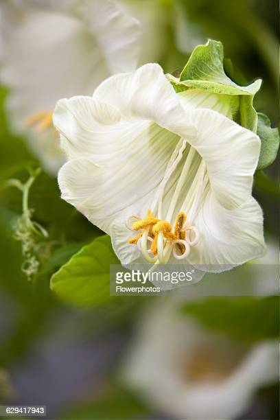 Cup and saucer Cobaea scandens