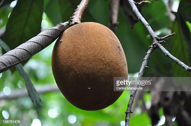 Cupuacu fruit
