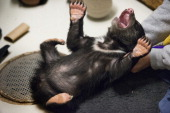Curator Tony Barthel plays with a female sloth bear cub that's being handraised at the Smithsonian National Zoo in Washington DC on March 18 2014 The...