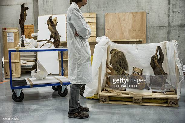 A curator works on a collection gathering stuffed animals in a storeroom at the 'Musee des Confluences' science centre and anthropology museum ahead...