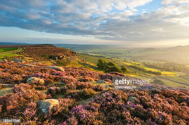 Curbar Edge Heather, Peak District National Park
