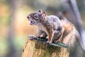 écureuil faché