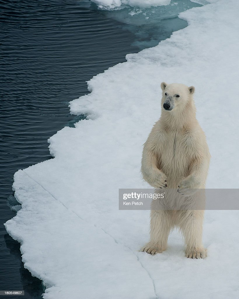 A curious bear